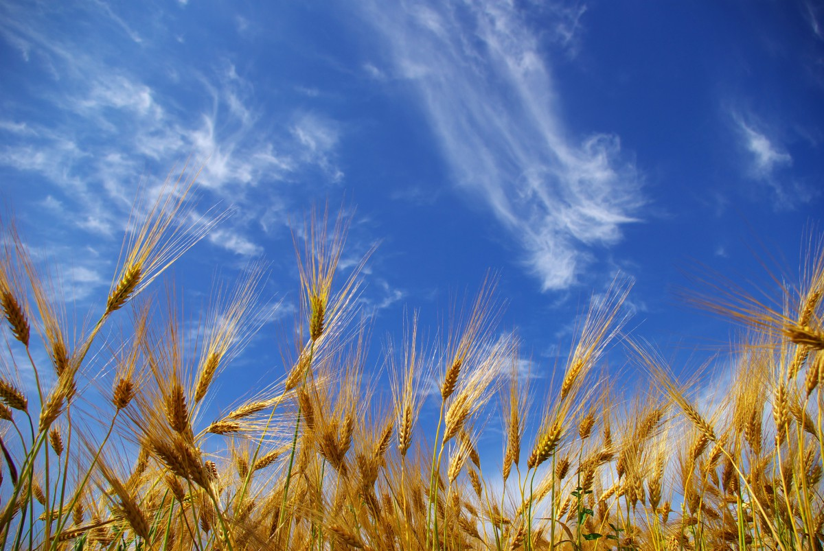 Wheat crop and sky