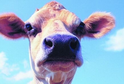 Cow looking at camera with sky in background