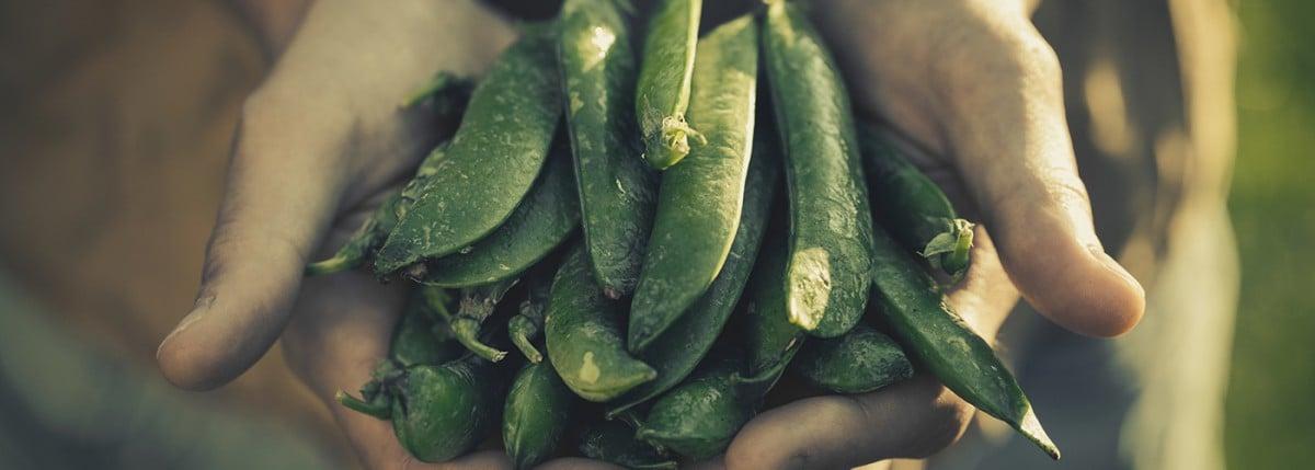 Hands holding peas