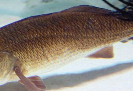 Https://gfi. Org/wp content/uploads/2020/02/red drum gfi sustainable seafood mote marine cropped 8