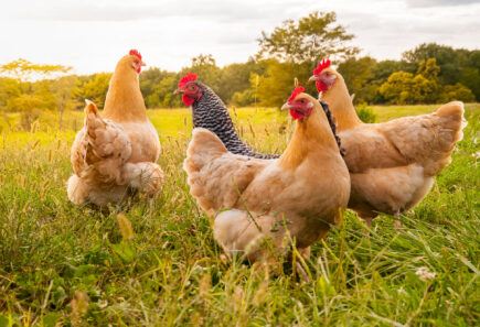 Happy chickens in a field, representing a future with cultured chicken
