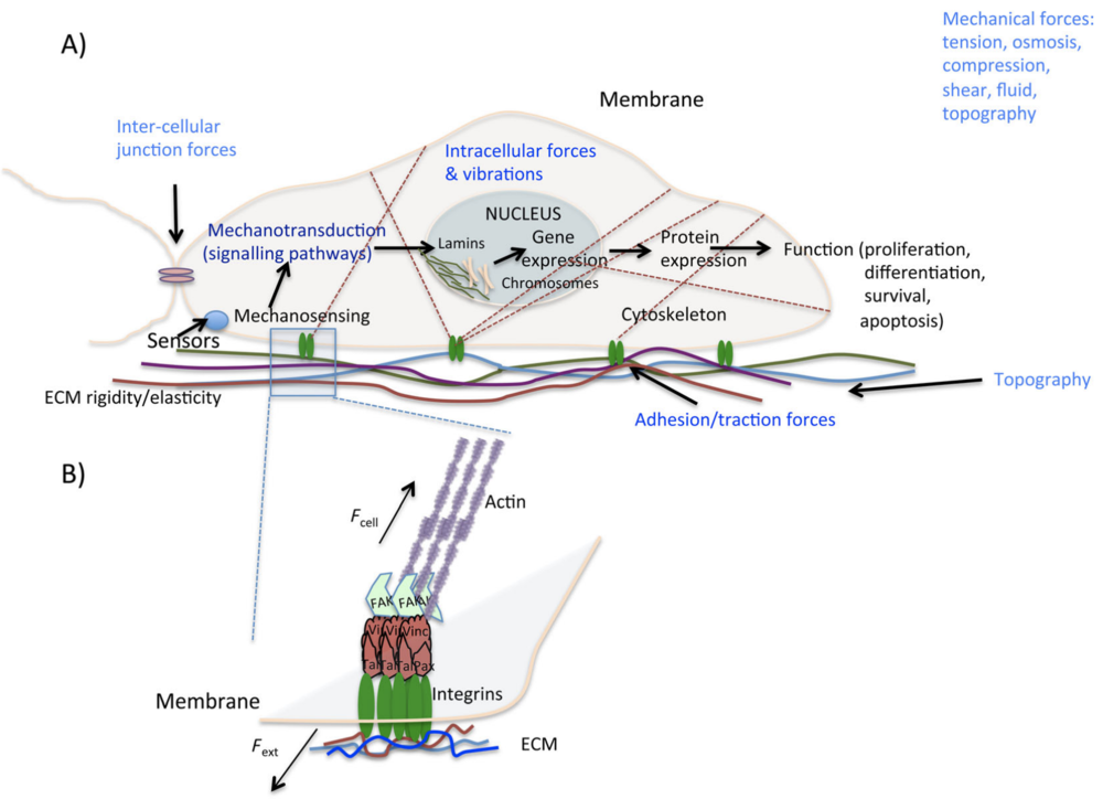 Diagram showing components of the extracellular matrix