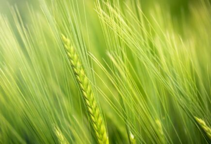 Close up on a field of green wheat