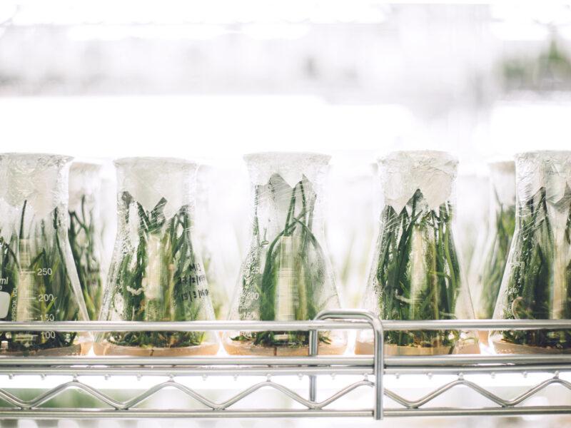 Plants growing in erlenmeyer flasks