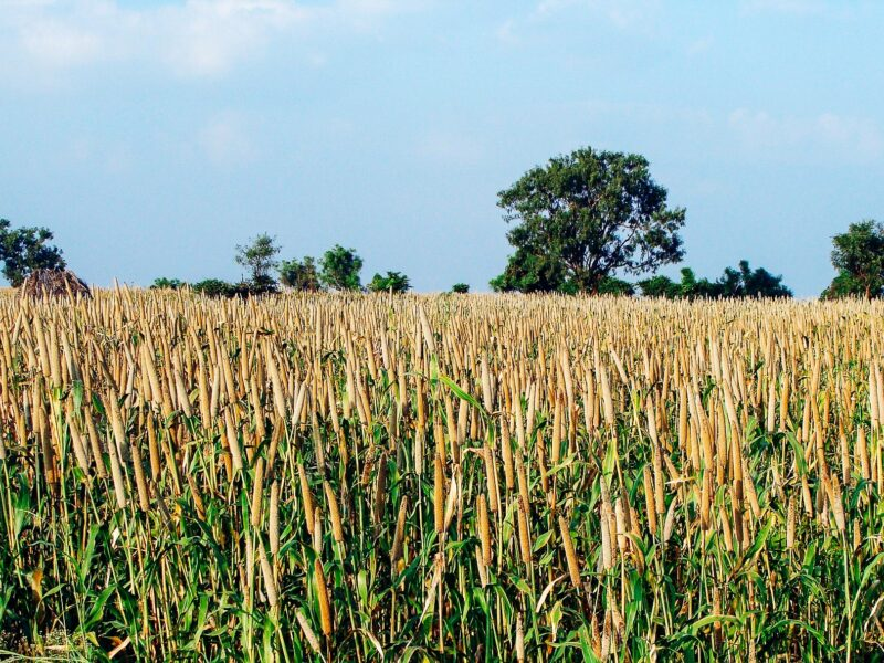 A field of pearl millet with a bright blue sky