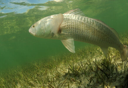 A redfish is swimming in the grass flats ocean