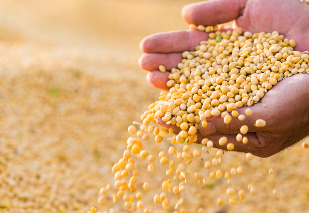 Soy bean seeds pouring from the hands of a farmer