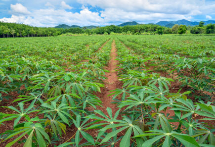 Field of cassava plants, representing cassava as an ingredient for plant-based meat
