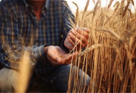 Person harvesting wheat