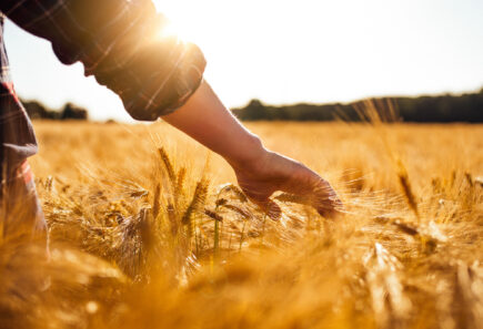 Man touching golden heads of wheat while walking through field