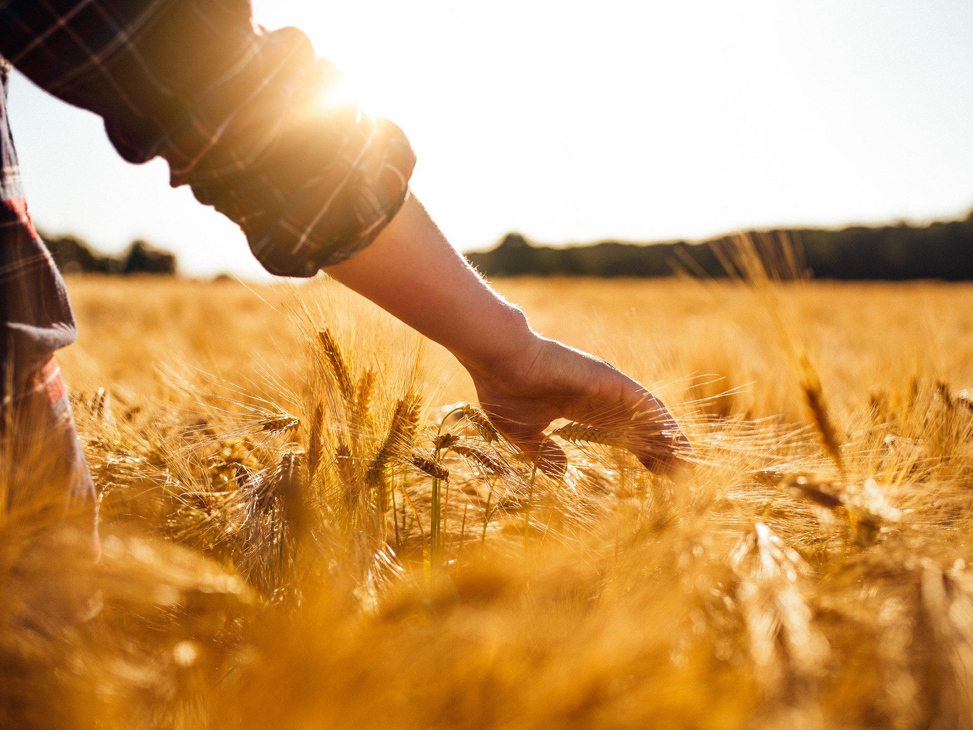 Man touching golden heads of wheat while walking through field