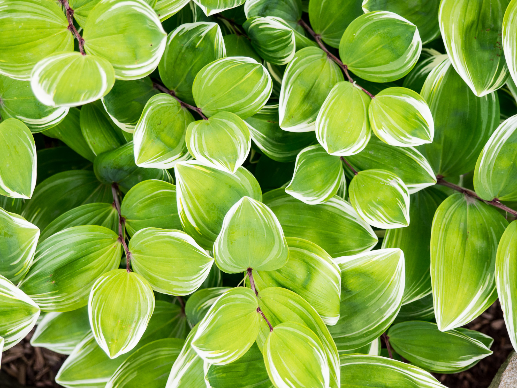 Overhead view of green and white leaves