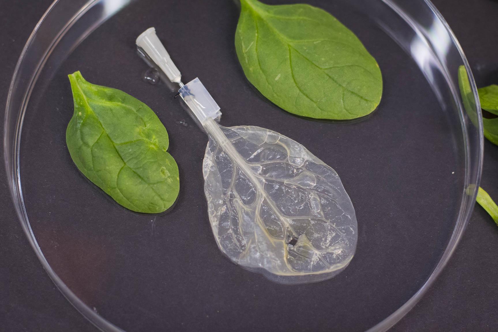 Decellularized spinach leaf